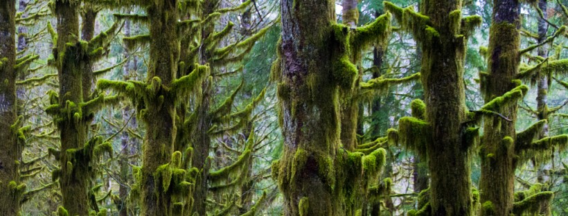 Moss covered trees at Nooksack